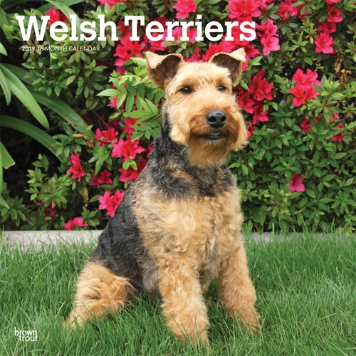 Welsh Terriers 2019 16-Month Square Wall Calendar by Browntrout